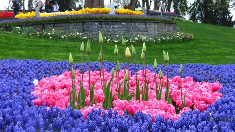 Любуемся цветочными коврами сотканными из живых тюльпанов