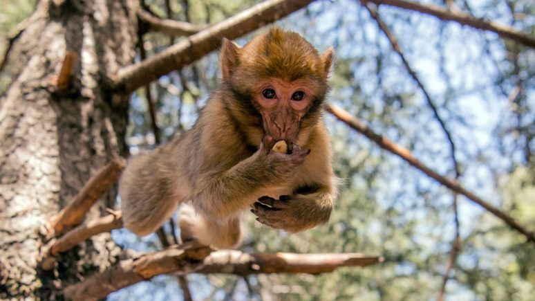 Marocco_Ifran_national park_magot monkey