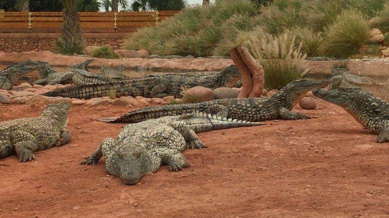 Смотрим огромных нильских крокодилов