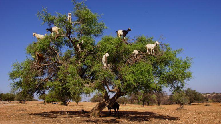 Marokko_Agadir_argan tree_sea goats