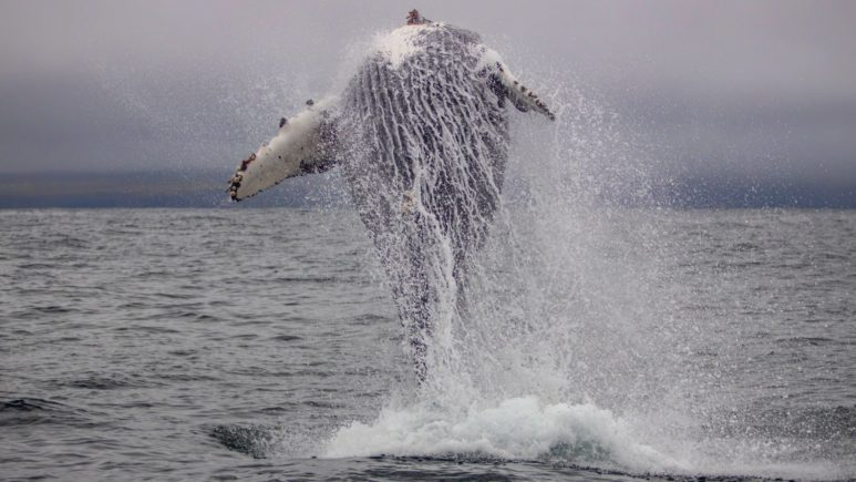 Iceland-Whale-Whatching (5)