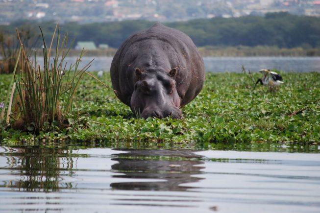 Гуляем вместе с животными по острову-заповеднику Crescent Island на озере Найваша