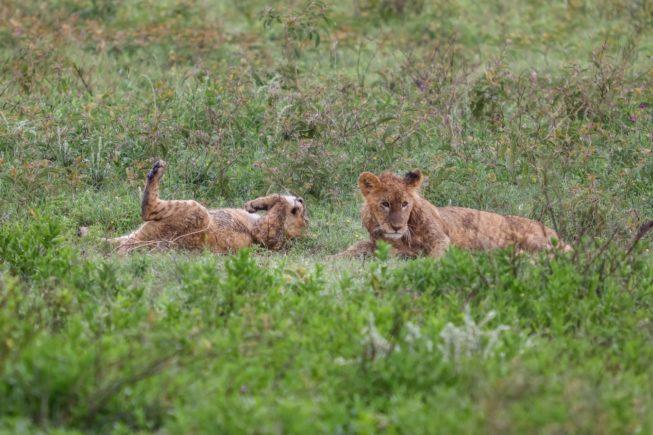 Сафари в национальном парке Нгоронгоро (северная Танзания)