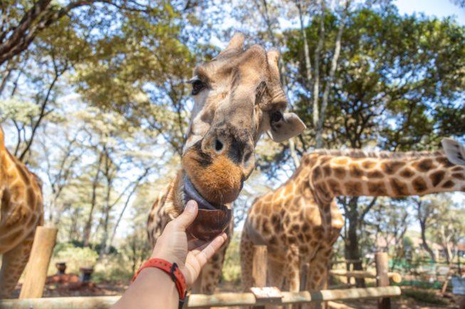 Кормим завтраком жирафов в Giraffe Centre под Найроби
